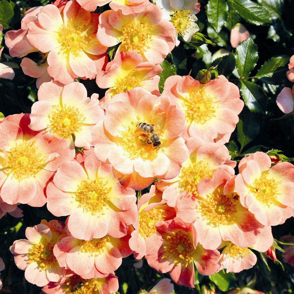 Rosier Bijenweelde® abricot