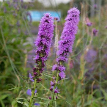 Liatris spicata - Plume du Kansas Violet