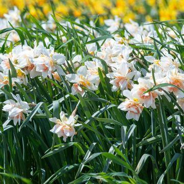 Narcisse 'Replete' 10 pièces