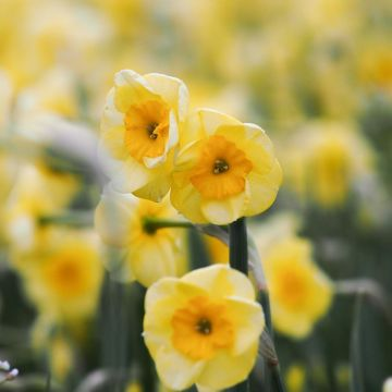 Narcisse 'Sundisc' 10 pièces