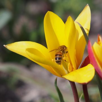 Tulipe 'Clusiana var. Chrysantha' 10 pièces