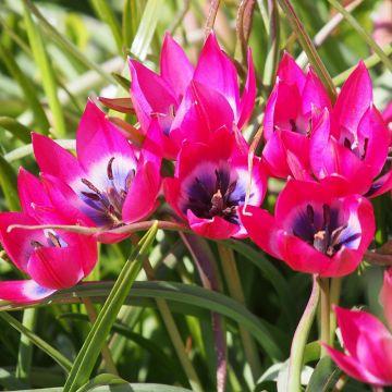 Tulipe 'Little Beauty' 10 pièces