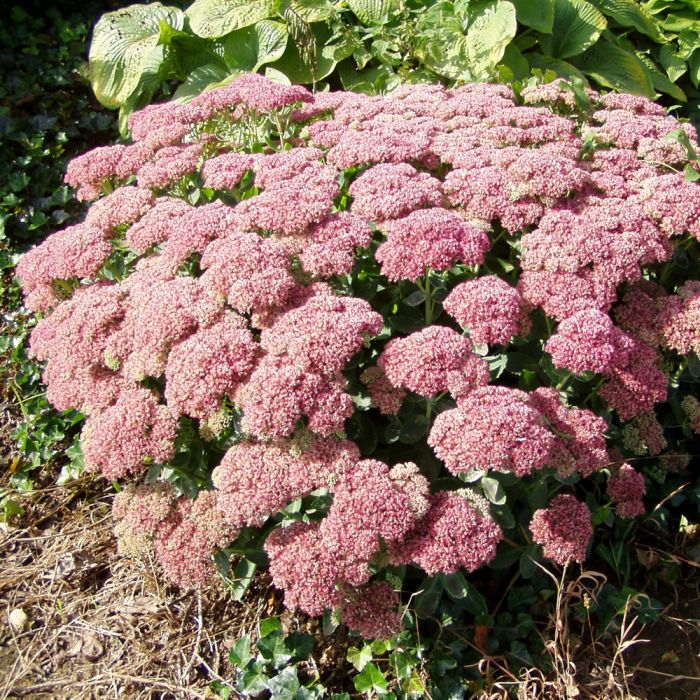 Grand Sedum Orpin - Pack de 8