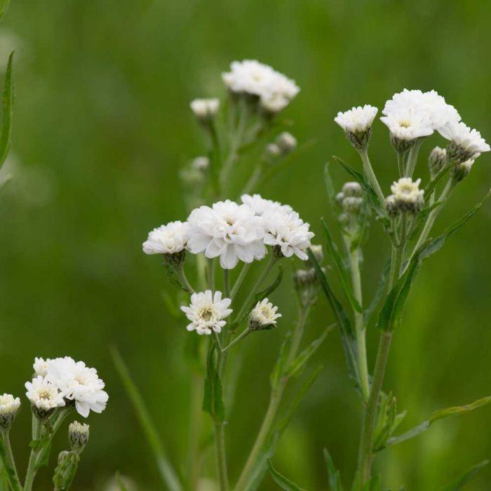 Achillée sternutatoire (Achillea ptarmica 'The Pearl')