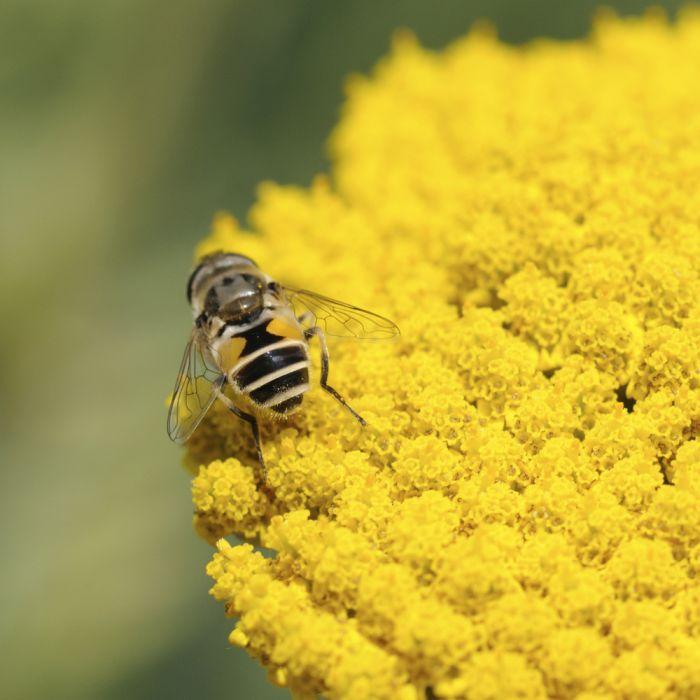 Achillée (Achillea Filipendulina Cloth of Gold)