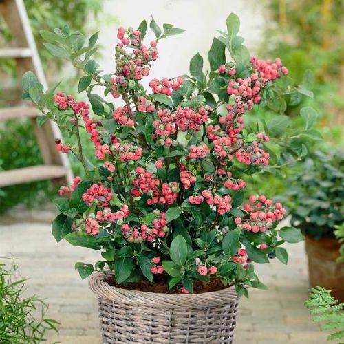 Myrtille Roses 'Pink Berry'