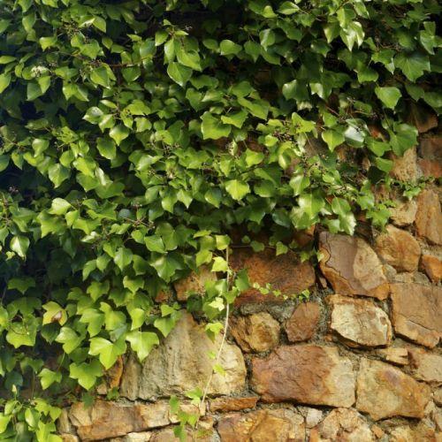 Lierre d'Irlande 'Hedera hibernica' Pack de 8