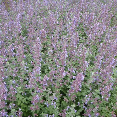 Herbe à chat, Chataire (Nepeta faassenii 'Six Hills Giant')