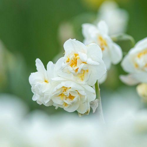 Narcisse 'Bridal Crown'