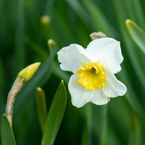 Narcisse 'Papillon Blanc' 10 pièces