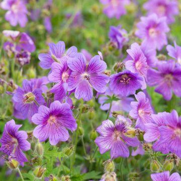 Bec de grue x Magnificum (Geranium magnificum)