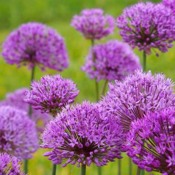 Ail d'ornement 'purple sensation'
