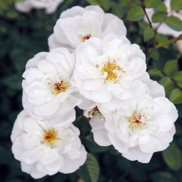 Bijenweelde® blanc