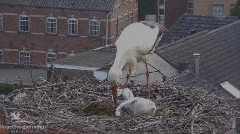 Webcam cigogne